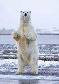 Posl02_polarbear0805_2